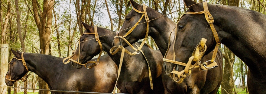 How clone ponies are transforming the game of polo